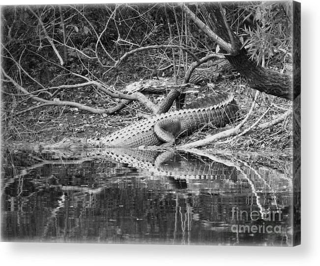 Alligator Acrylic Print featuring the photograph The Beast That Lives Under The Bridge by Carol Groenen