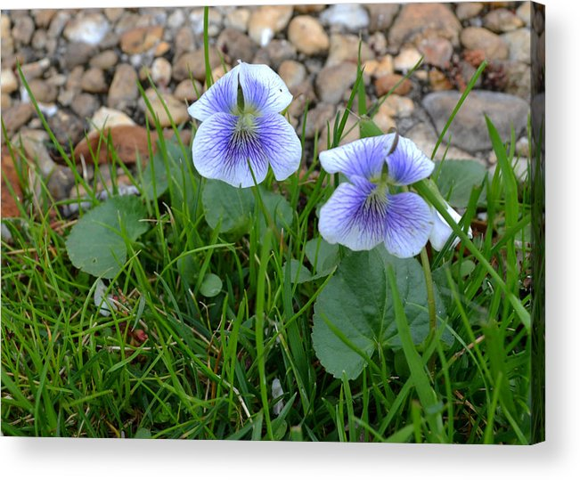 Violets Acrylic Print featuring the photograph Violets by Larry Bishop