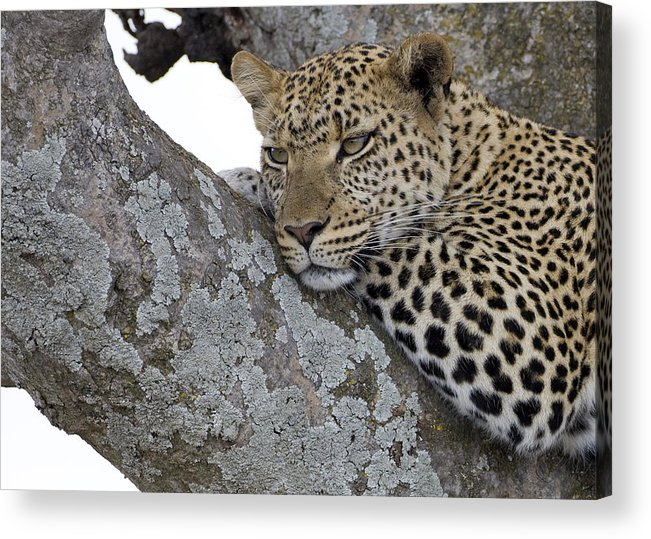 Leopard Acrylic Print featuring the photograph Waiting For Nightfall by Max Waugh