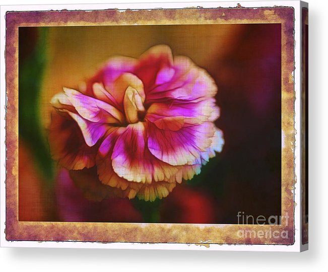Carnation Acrylic Print featuring the photograph Yesterday by Judi Bagwell