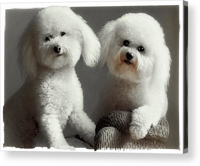 Bichon Frise Acrylic Print featuring the photograph All Smiles by Lynn Andrews