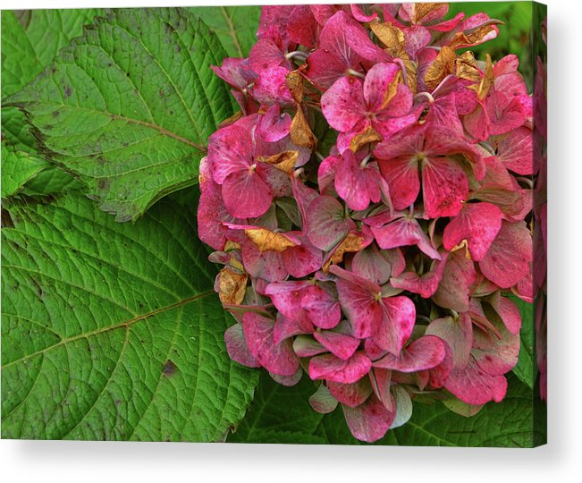 Hydrangea Acrylic Print featuring the photograph Endless Summer by JAMART Photography