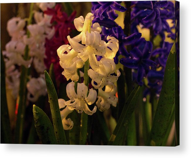 Night Acrylic Print featuring the photograph American Flowers by Tim Fitzwater