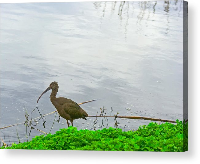 Black Ibus Acrylic Print featuring the photograph Black Ibus by Robert Brown