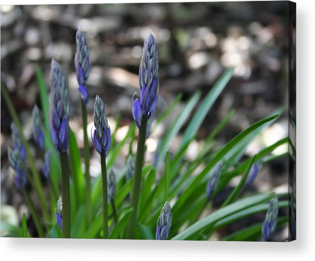 Flower Acrylic Print featuring the photograph Blue Bells by Beverlee Singer