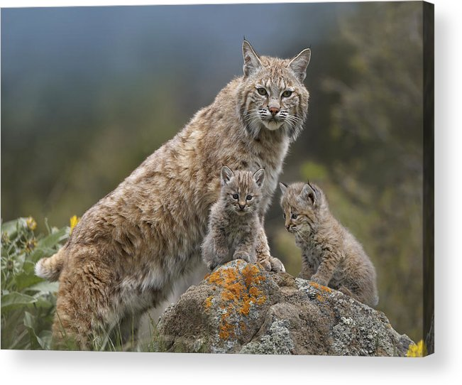 00177004 Acrylic Print featuring the photograph Bobcat Mother And Kittens North America by Tim Fitzharris