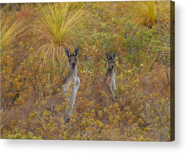 Kangaroo Acrylic Print featuring the photograph Bush Kangaroos by Tony Brown