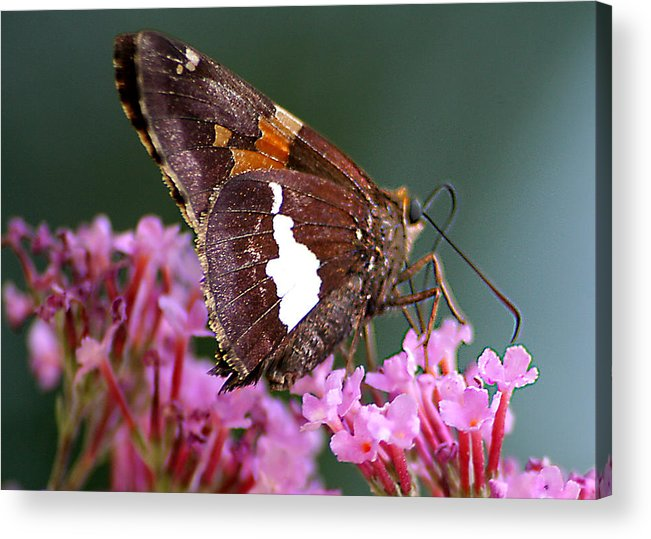 Acrylic Print featuring the photograph Butterfly-licking by Curtis J Neeley Jr