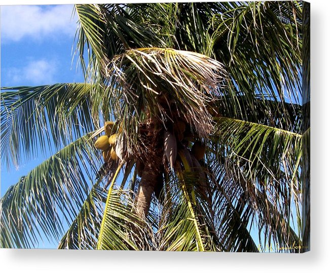 Palm Tree Acrylic Print featuring the photograph Cayman Palm by Elise Samuelson