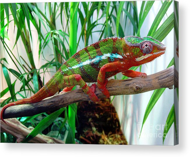 Chameleon Acrylic Print featuring the photograph Colorful Chameleon by Nancy Mueller