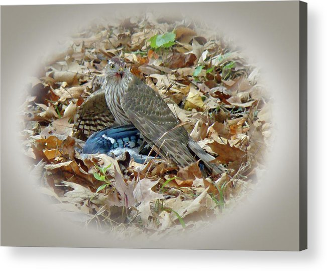 Hawk Acrylic Print featuring the photograph Cooper's Hawk - Accipiter Cooperii - With Blue Jay by Mother Nature
