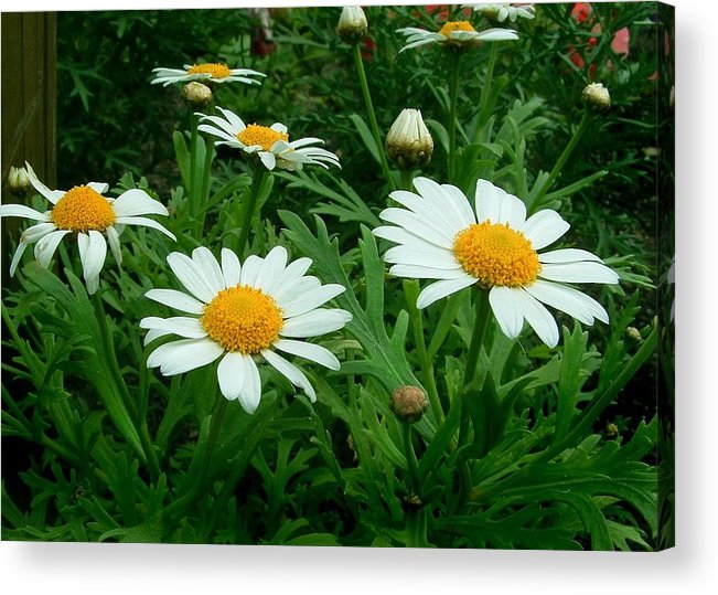 Daisy Acrylic Print featuring the photograph Daisey Delight by Jim Darnall
