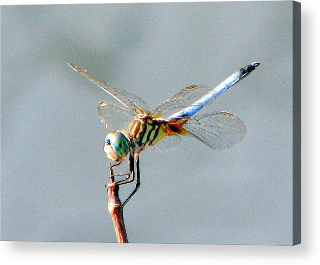 Dragonflies Acrylic Print featuring the photograph Dragonfly At Rest by T Guy Spencer