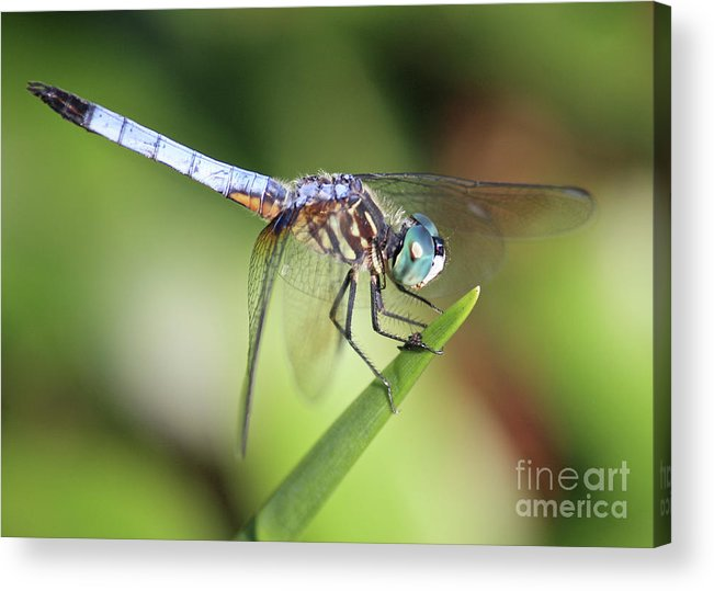 Dragonfly Acrylic Print featuring the photograph Dragonfly Captures Tiny Cockroach by Carol Groenen