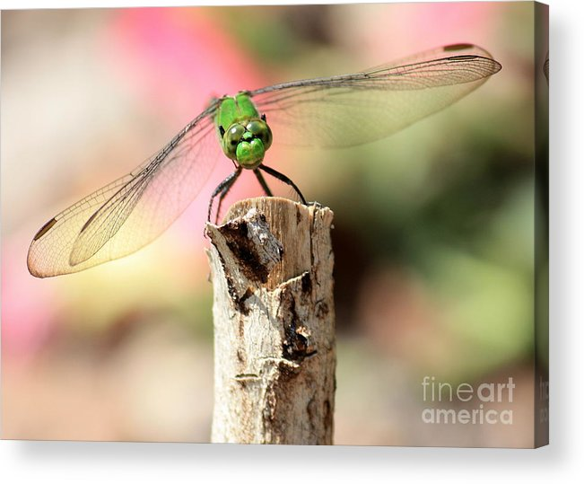 Dragonfly Acrylic Print featuring the photograph Dragonfly In The Petunias by Carol Groenen