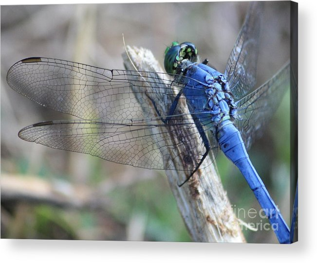 Dragonfly Acrylic Print featuring the photograph Dragonfly Wing Detail by Carol Groenen