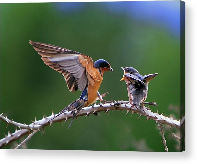 Birds Acrylic Print featuring the photograph Feed Me by William Lee