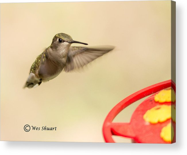 Hummingbird Acrylic Print featuring the photograph Female Ruby-throated Hummingbird by Wesley Shuart