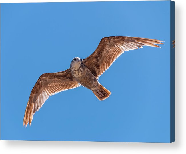 Animal Acrylic Print featuring the photograph Flying Gull by Marv Vandehey