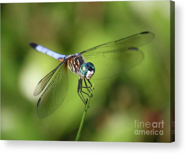Dragonfly Acrylic Print featuring the photograph Garden Dragonfly by Carol Groenen