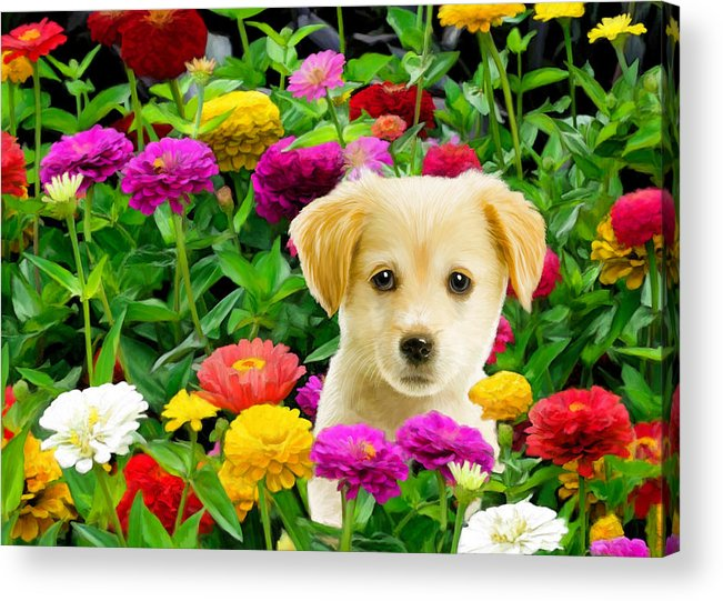 Puppy Acrylic Print featuring the digital art Golden Puppy In The Zinnias by Bob Nolin