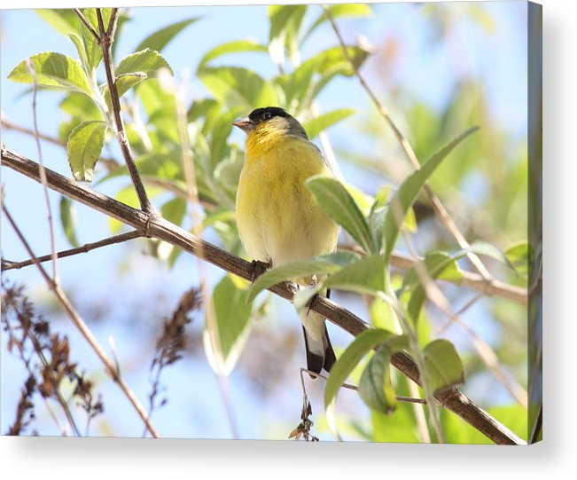Bird Acrylic Print featuring the photograph Goldfinch In Spring Tree by Carol Groenen