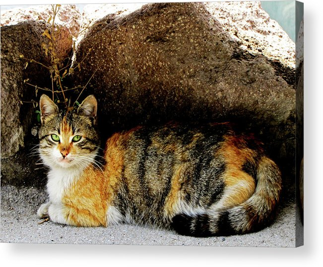 Cat Acrylic Print featuring the photograph Hello Friend Iv by Pam Ellis