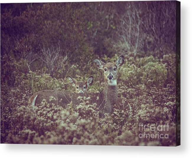Doe Acrylic Print featuring the photograph Hide And Doe Seek by Alicia Heaney