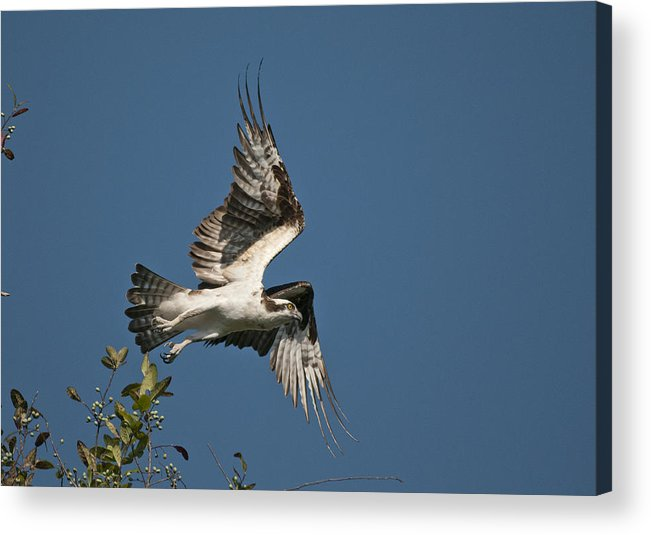Osprey Acrylic Print featuring the photograph Jump by Cory Bucher
