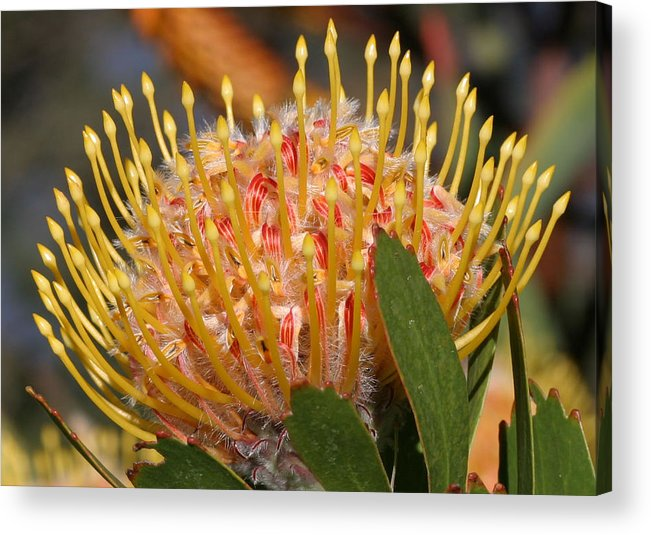 Plant Acrylic Print featuring the photograph Leucospermum Muirii by Tony Brown