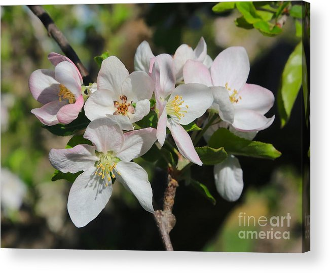 Apple Blossoms Acrylic Print featuring the photograph Lovely Apple Blossoms by Carol Groenen