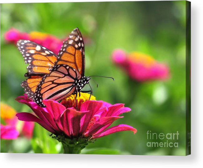 Pink Acrylic Print featuring the photograph Monarch Visiting Zinnia by Angela Rath