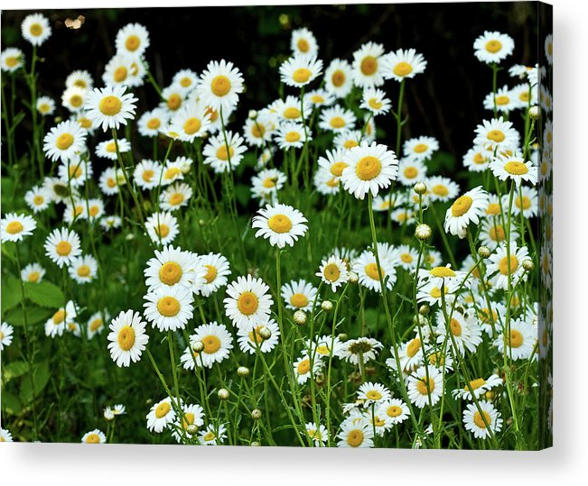 Train Tracks Acrylic Print featuring the photograph More Daisies by Tim Fitzwater