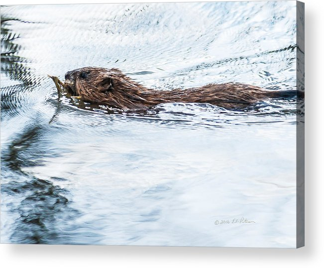 Heron Heaven Acrylic Print featuring the photograph Muskrat Spring Swim by Edward Peterson