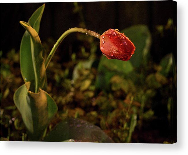 Tulip Acrylic Print featuring the photograph Night Tulip II by Tim Fitzwater
