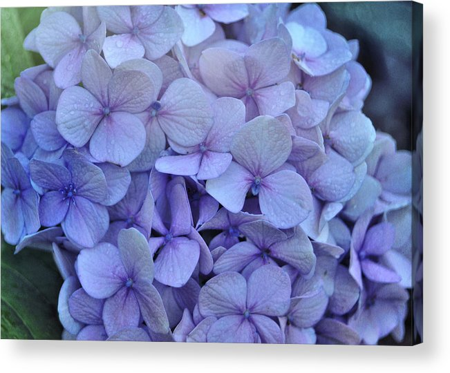 Cape Cod Acrylic Print featuring the photograph Nikko Blue Petals by JAMART Photography