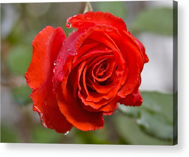 Red Rose Acrylic Print featuring the photograph Perfect Red Rose by Robert Joseph