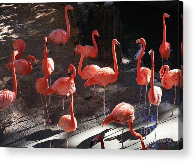 Pink Flamingos Acrylic Print featuring the greeting card Pink Flamingos by Carol Groenen
