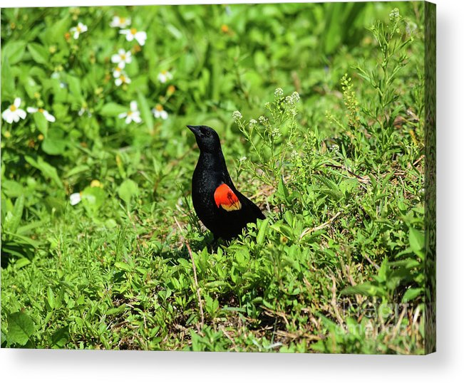 Proud Red-wing Acrylic Print featuring the photograph Proud Red-wing by William Tasker
