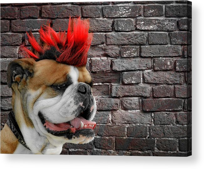 Bulldog Acrylic Print featuring the photograph Punk Bully by Christine Till