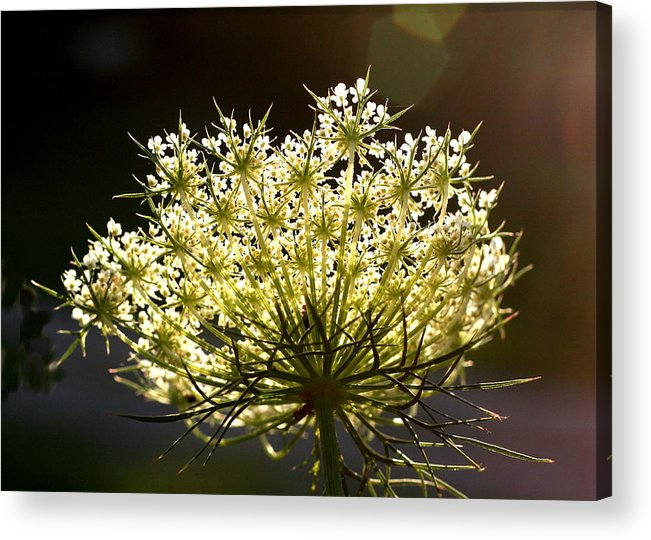 Queen Anne's Lace Acrylic Print featuring the photograph Queen Anne's Lace by Diane Merkle