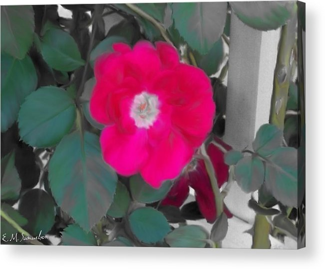 Nature Acrylic Print featuring the photograph Rose On A Trellis by Elise Samuelson
