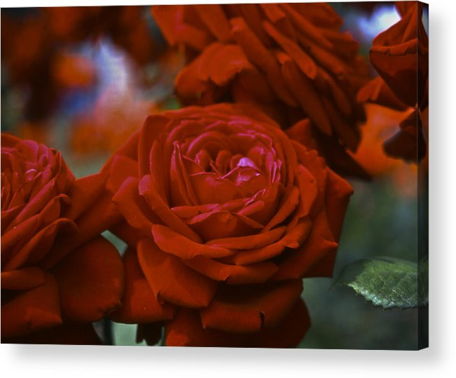 Roses Acrylic Print featuring the photograph Rose by Wes Shinn