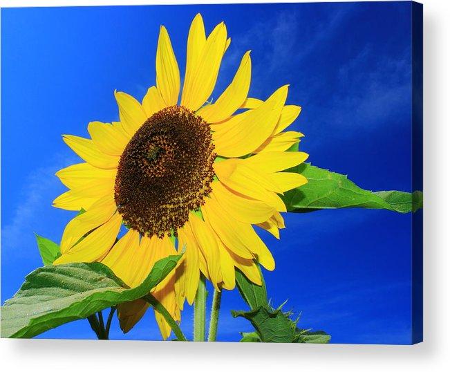 Sunflower Acrylic Print featuring the photograph Sunflower by Monique Flint