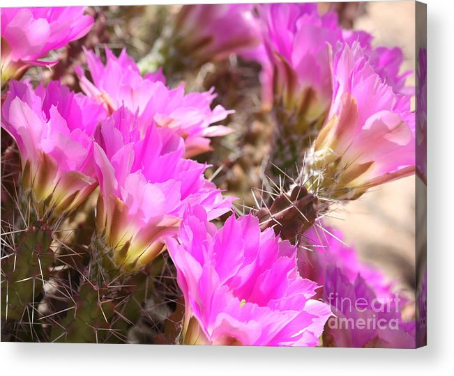 Pink Cactus Flowers Acrylic Print featuring the photograph Sunlight On Pink Cactus Blooms by Carol Groenen