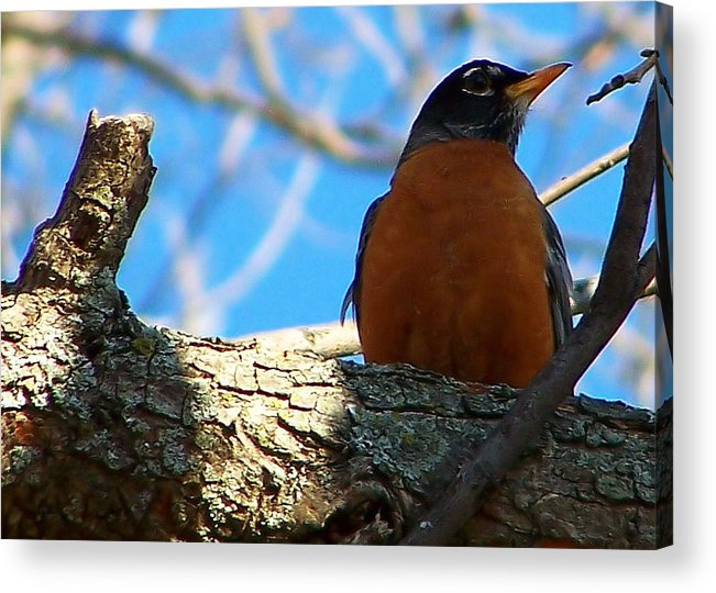 Robin Acrylic Print featuring the photograph The Robin by Karen Scovill