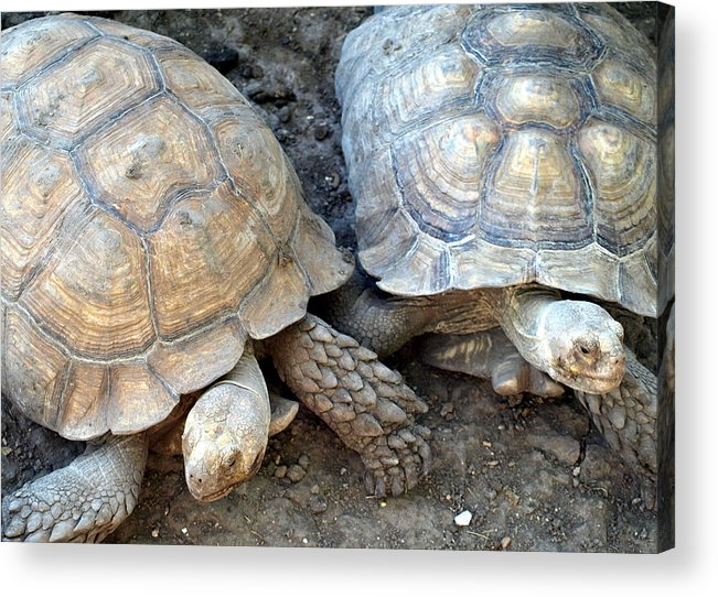Turtles Acrylic Print featuring the photograph Turtle Turtle by Kim