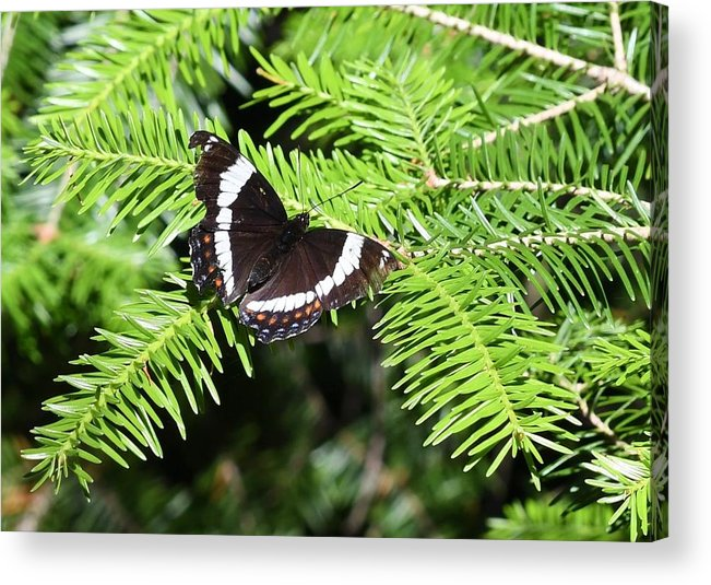 Butterflies. White Admiral Acrylic Print featuring the photograph White Admiral On Tree by Hella Buchheim