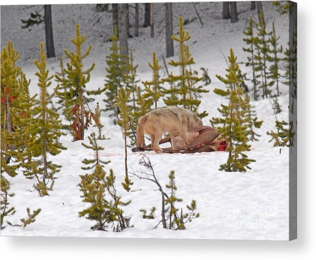 Wolf Acrylic Print featuring the photograph Wolf On Elk Kill by Dennis Hammer