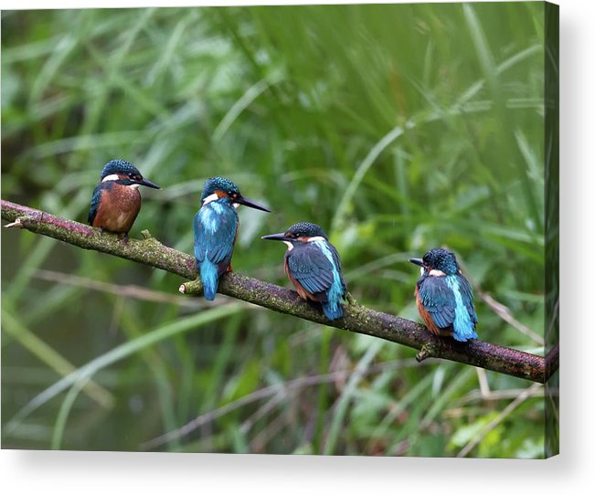 Grass Acrylic Print featuring the photograph Four Kingfishers On Branch by Produced By Oliver C Wright